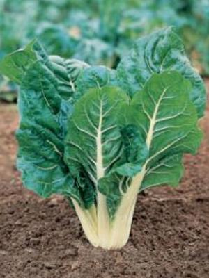 Bieta for Ingegnoli piante